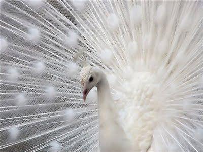 white peacock! #white #peacock