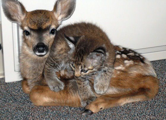 bobcat kitten and fawn found each during  wild fire
