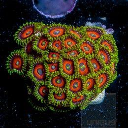 "Zoanthus sp. - ""Eagle Eye"" Zoanthid  - 20+ Polyp Jumbo Stock Frag"
