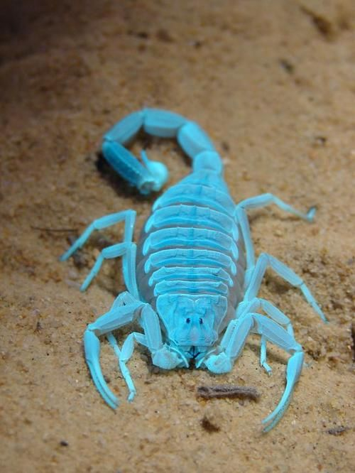 Fluorescence. Deathstalker Scorpion under blacklight.Photos, Tiny Animal, Bugs, Trav'Lin Lights, Aqua Blue, Aqua Scorpion, Aquascorpion, Wish Lists, Glow