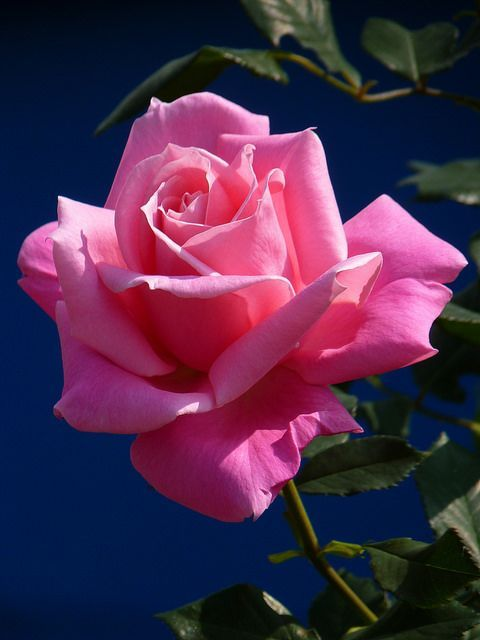 Beautiful pink roses, send it to your lady love.