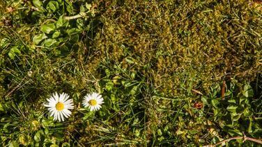 Moos zwischen dem Rasen