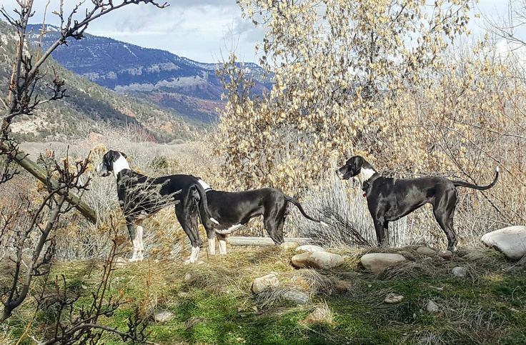 Here are my three mantle Great Danes-- OREO, LIL BIT, SUGAR BEAR, Spring 17