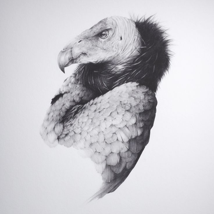 The Vulture by Vanessa Foley Part of 96 Editions flock series. Limited edition pigment ink giclée print. 45cm x 61cm. Deckled Edge Hahnemühle Fine Art Photo Rag 308gsm. Signed and numbered by the artist. Authenticity stamped by 96 Editions. http://art.96editions.com/shop/collections/flock/i/the-vulture-vanessa-foley-art/ -- art.96editions.com #art #artwork #drawing #vanessafoley #96editions #artgallery #giclee #limitededition #vulture #decklededge #death #renewal #transformation