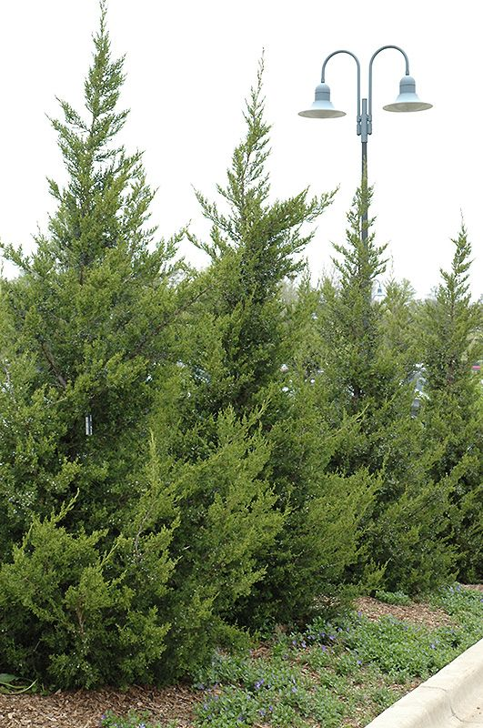 Find This Pin And More On Evergreen Trees U0026 Shrubs By Hollywoodblvd85.