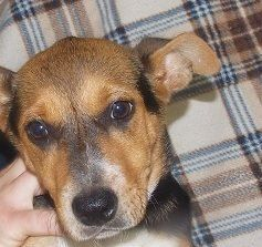 Sadie is a female, jack russell mix who is available for adoption NOW! ID# 17-D1934\r\n