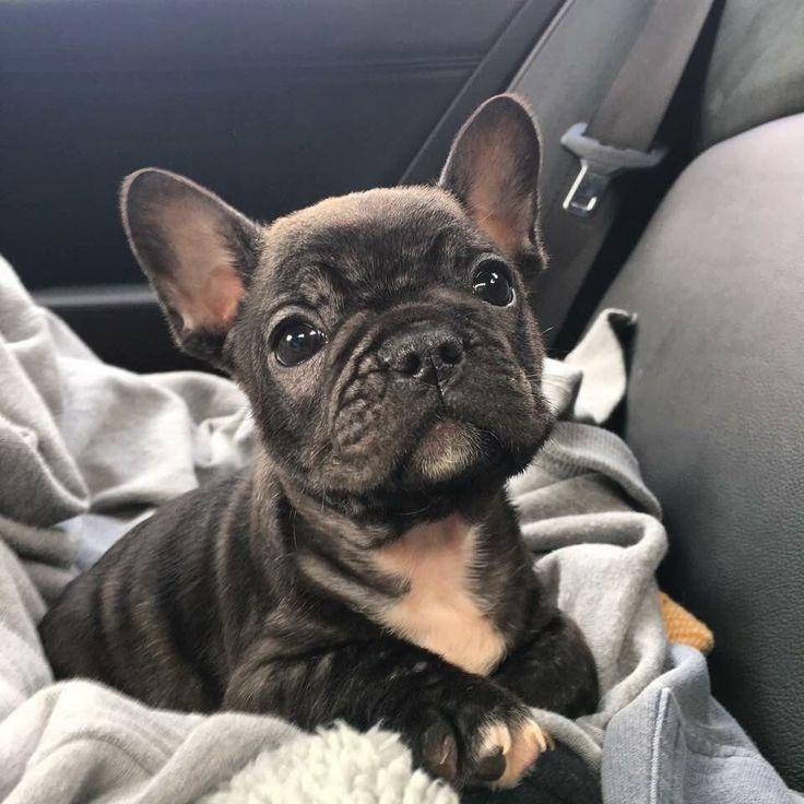 Frenchie cuteness