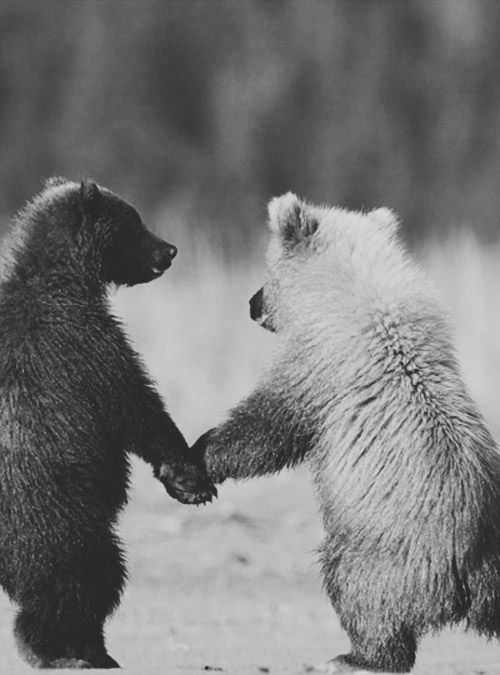 A black and white image of two bears holding hands while they stand on their two hind feet.