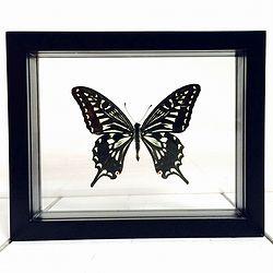 Vlinder in lijst Papilio Xuthus. Deze verfijnde lijst bevat een grote page namelijk de Papilio Xuthus vlinder. De Papilio Xuthus komt in Indomaleisisch gebied voor maar ook in Hawaï.