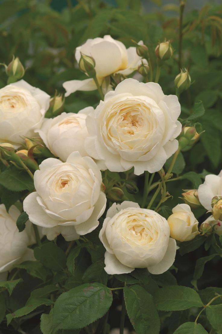 White Garden Spray Roses Claire Austin (Ausprior) #DavidAustinRoses #GardenRoses