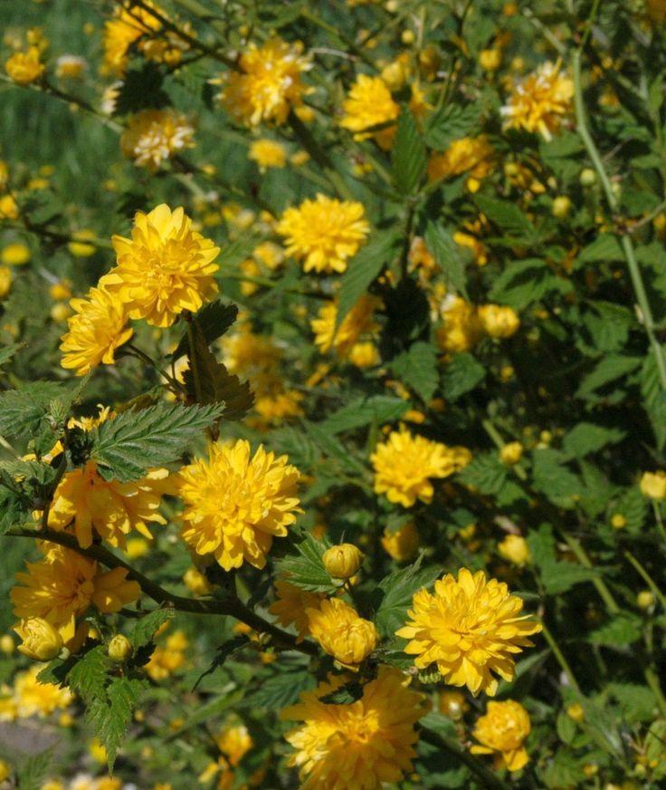 Ranunkelstrauch gelb blühend, Kerria japonica pleniflora 1 Strauch im 3 Liter Topf: Amazon.de: Garten