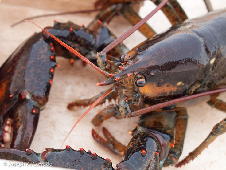 Crate to Plate: Rent a lobster crate for a month, 1/2 or full year. Great gift (that keeps on giving!) for a group to give.Month Leasing, Lobsters Crates, Full Seasons, Plates, Contact Crates, Full Years, Lobsters Trap
