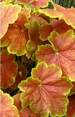 Heuchera Tiramisu. Part Shade. Bright yellow foliage which has a heavy splattering of brick red radiating from the mid-rib of each leaf. In Summer the leaves lighten to a beautiful chartreuse colour, frosted in silver. In Autumn brick red covers the entire leaf, except for a bright chartreuse margin (shown). Creamy-white flowers in August. Growth: Average