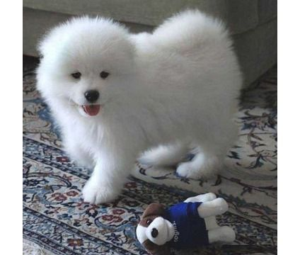 WAEANM Potty trained Samoyed puppies | Samoyed For Sale in ...