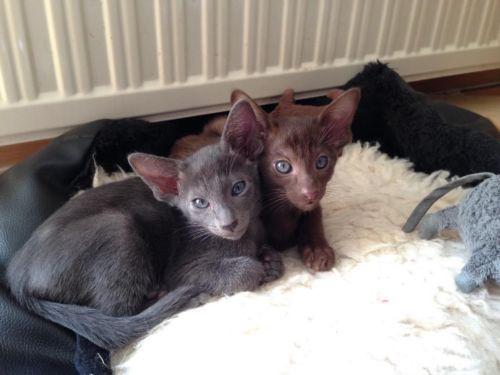 Noch 2 Kitten mit Stammbaum suchen ein neues Zuhause in Hessen - Steinau an der Straße | Siamkatzenbabys kaufen | eBay Kleinanzeigen