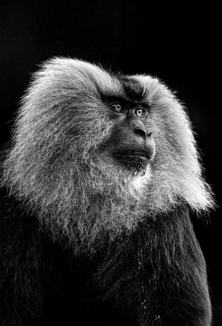 Un apuesto macaco de cola de león macho alfa mantiene un ojo cauteloso sobre el resto de su tropa después de beber un poco de agua. Son una de las especies de primates más amenazadas en el mundo y son altamente endémicas de los Ghats occidentales del sur de la India. Su especie está fragmentada por los Ghats occidentales en los bolsillos y su futuro, muy parecido a la melena de este macho, parece agotado.. 2017 National Geographic Nature fotógrafo del año |  National Geographic