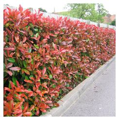 Photinia Red Robin HedgePhotinia Red Robin is a popular, fast-growing, evergreen shrub that makes an attractive garden hedge if it is pruned twice a year. It has bright red, young leaves in early spring and, if it is trimmed in late spring or early summer, it will produce more red shoots in summer.