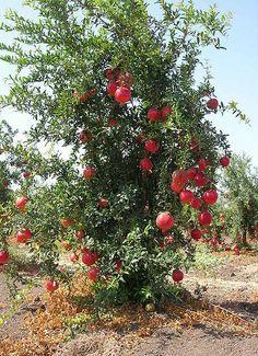 Pomegranate Tree In Israel