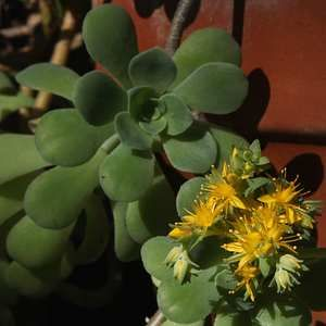 Sedum palmeri - 'Palmer's Sedum' (Partial sun or shade, low water)