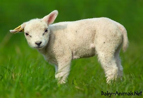Bebek hayvanlar   #babyanimals    #babyanimal    #babysheep  #cutebabysheep  #littlebabysheep  #babysheepimages  #babysheepphotos  #babysheeppictures  #sweetbabysheep  #www.baby-animals.net   #cutesheep  #sweetsheep  #littlesheep