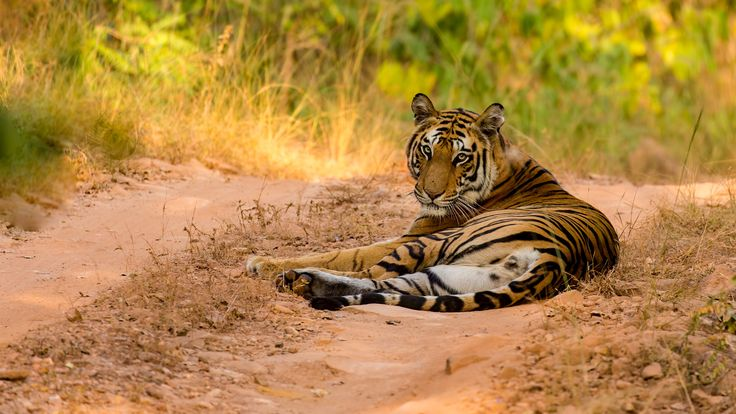 "Tiger on the path - A 100-400 shot of the tiger called ""spotty"" at Bandhavgarh"