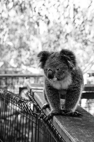 un koala muy bonito como nunca habia bisto