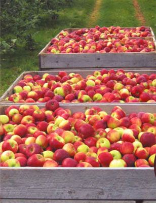 Arlington Orchards on PEI is a magical place to spend the day apple picking! http://arlingtonorchards.com/