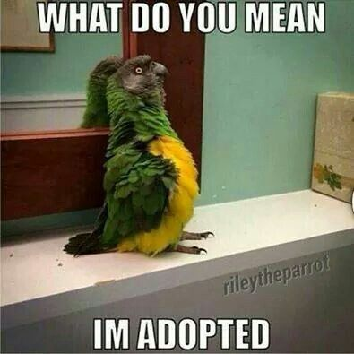"""""""What do you mean I'm adopted?!"""" Shocked parrot is shocked."""