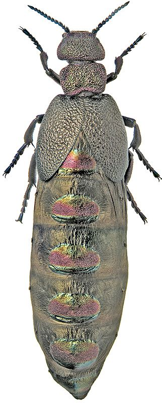 Meloe variegatus - evolved to appear as nothing but a bit of metal, but they are still bugs...