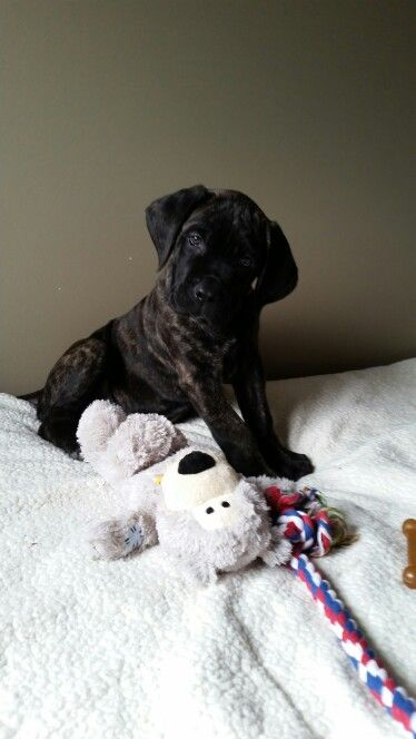 English Mastiff Puppy. 11 weeks old, reverse brindle.