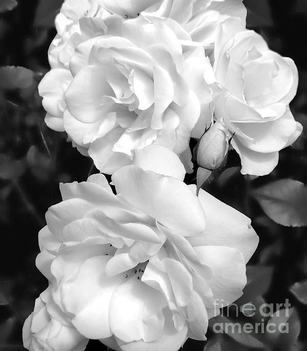 Black and white roses floral art design for your home or office decor photography by