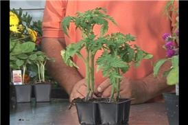 How to Grow Patio Tomatoes | Garden Guides