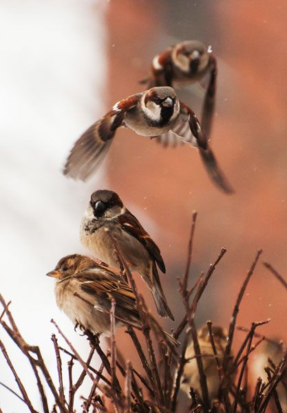 tips for photographing birds in flight. sparrows