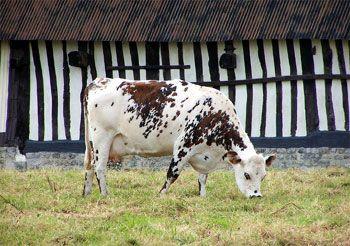 vaches normandes photos | Vache de race normande devant une etable a colombages typique