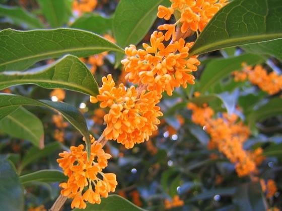 金木犀キンモクセイ fragrant orange-colored olive