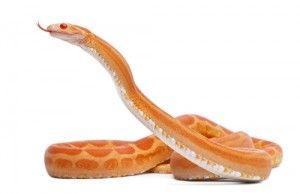 Serpientes mascotas