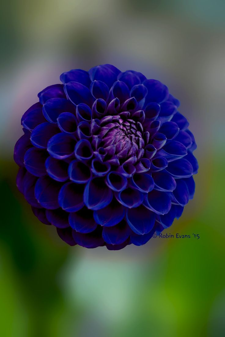 ~~Crystal Blue Persuasion | royal blue pompon dahlia | by ...