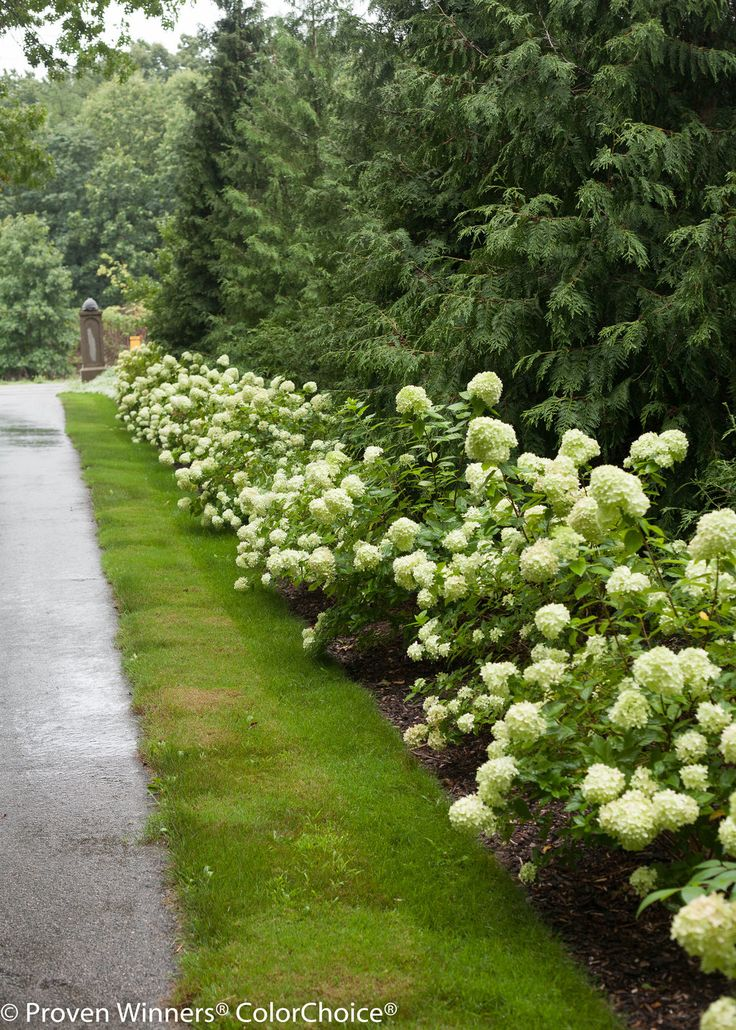 Hydrangea.Line a driveway with Little Lime panicle hydrangeas - an incredible display for months and super low maintenance. http://emfl.us/sAHd
