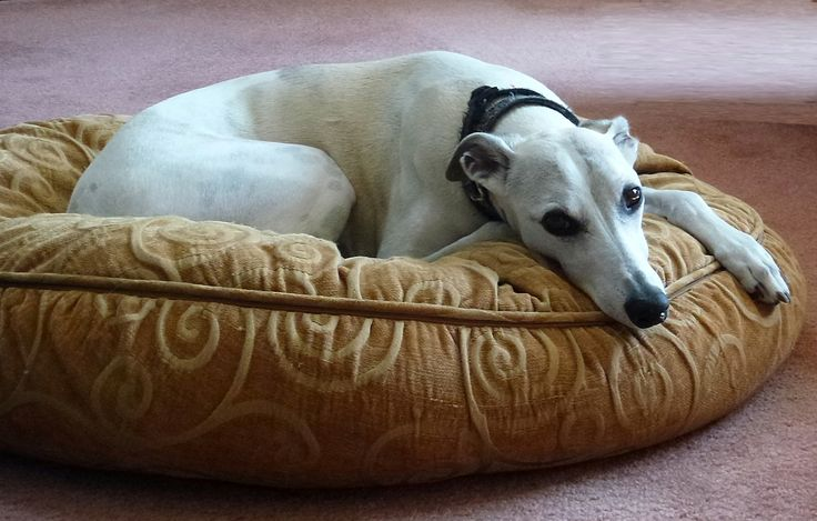 Whippet - Bailey at rest