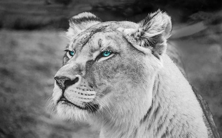 Download wallpapers lion, 4k, monochrome, predators, muzzle, blue eyes
