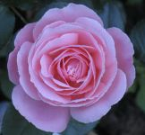 How about this lovely 'name your own rose' in pink