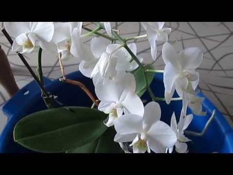 Как заставить орхидею цвести долго!Мой метод! - YouTube