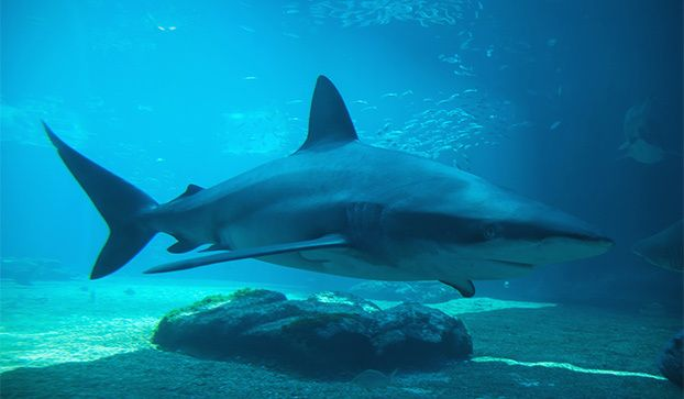 Dusky sharks used to be plentiful in their wide range. Commercial fishing, pollution and other human-induced pressures have reduced the population substantially over the past few decades.
