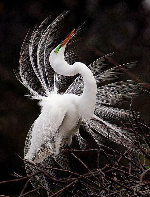 showoff | Fine Feathered Friends | Pinterest | Jack O ...