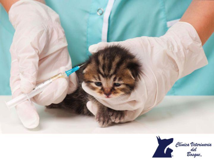 CLÍNICA VETERINARIA DEL BOSQUE. La vacuna Triple Felina se le aplica a tu gato 4 veces durante su primer año de vida a los 2, 3, 4 meses y cumplido el primer año y luego cada 3 años de por vida. Con esto evitarás que contraiga enfermedades como el Herpes virus felino, Calicivirus y Parvovirus Felino. En Clínica Veterinaria del Bosque contamos con médicos expertos para orientarte en el cuidado de tu mascota. #cuidadodemascotas