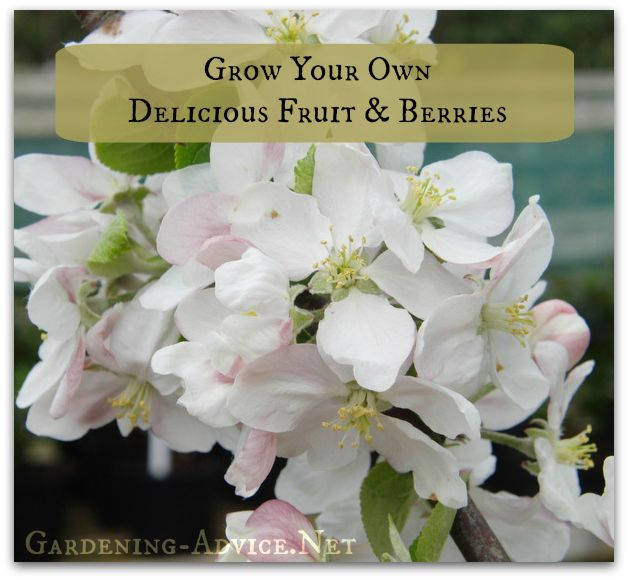 Sustainable organic gardening tips for Growing Fruit Trees and berry bushes. Learn about planting and caring for fruit trees, and how to grow fruit trees and bushes like raspberries, blueberries or strawberries.