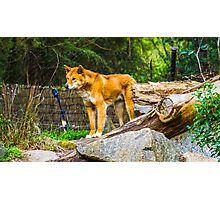 Dingo on the Alert Photographic Print