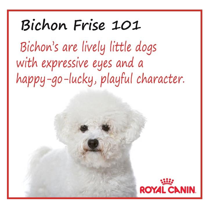 #dog #bichonfrise 101