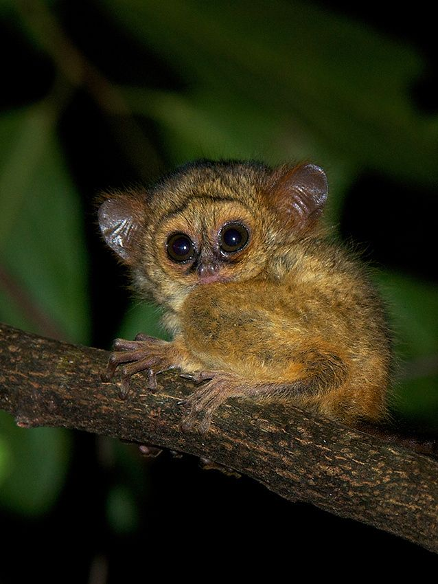 A baby spectral tarsier rests on a branch in Tangkoko National Park, Sulawesi, Indonesia.