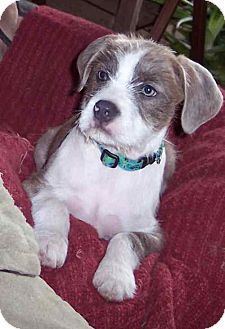 Terrier (Unknown Type, Medium)/Border Terrier Mix Puppy for adoption in McArthur, Ohio - OLIVER